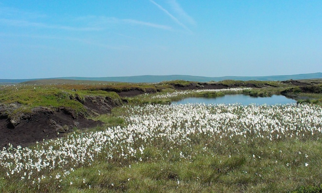 Cotton Grass