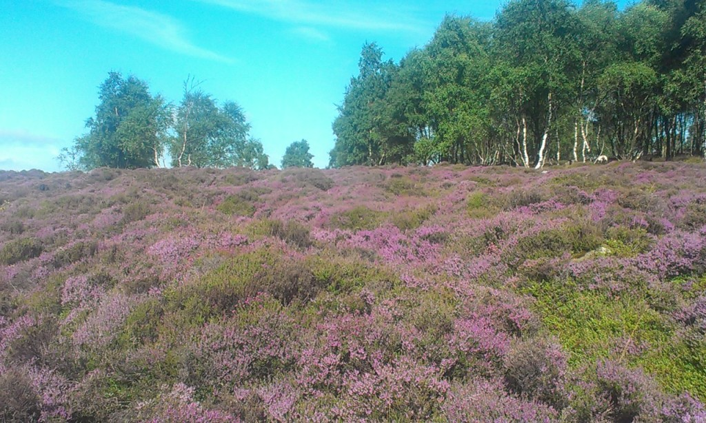 Purple Heather and Blue Skies